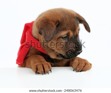 Cute puppy with red scarf isolated on white - stock photo