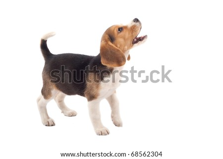 cute purebred beagle looking at something and barking isolated over white