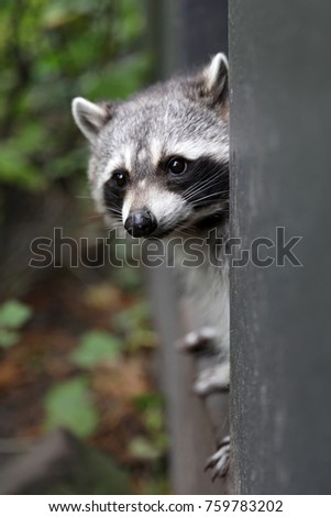 Cute raccoon portrait