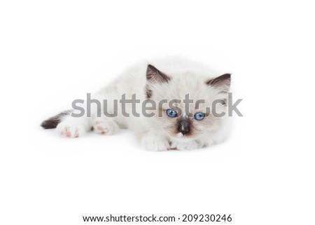 Cute Ragdoll kitten on white background - stock photo