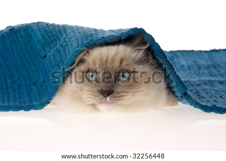 Cute Ragdoll kitten on white background peeping under blue woven rug - stock photo