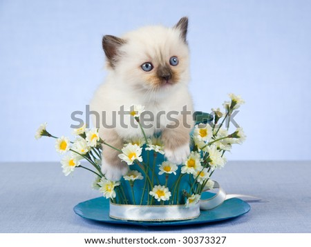 Cute Ragdoll kitten sitting inside large cup decorated with daisies - stock photo