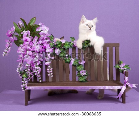 Cute Ragdoll kittens on miniature wooden bench with purple lilac wisteria flowers blooms - stock photo
