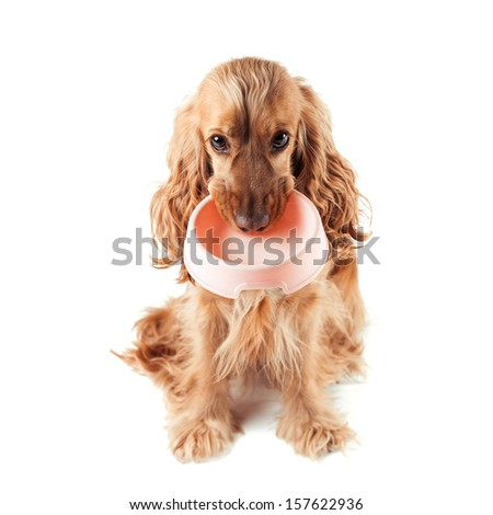 cute red dog asks to eat - stock photo