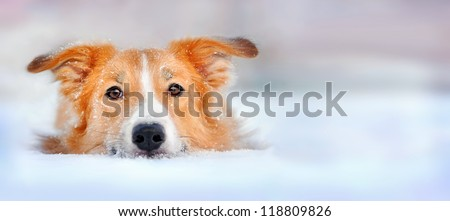 Cute red dog border collie lying in the snow, portrait - stock photo