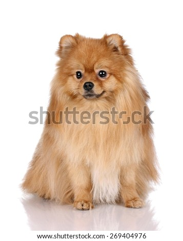 Cute red dog sitting on a white background, Pomeranian, portrait - stock photo