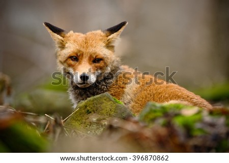 Cute Red Fox, Vulpes vulpes, animal at green forest with stones, in the nature habitat, Germany - stock photo