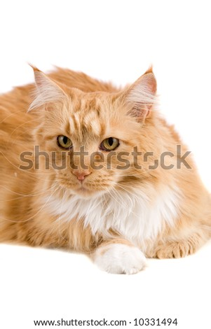 Cute red maine coon cat on white background