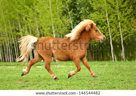 Cute red pony running trot at field in summer - stock photo