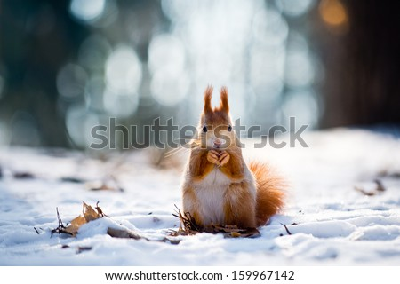 Cute red squirrel eats a nut in winter scene with nice blurred forest in the background - stock photo