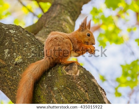 Cute red squirrel sits on the tree and eating walnut in the spring park