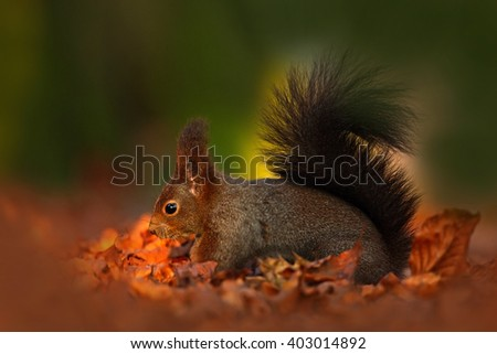 Cute red squirrel with long pointed ears eats a nut in autumn orange scene with nice deciduous forest in the background, hidden in the leaves, with big tail, in the habitat, Sweden - stock photo