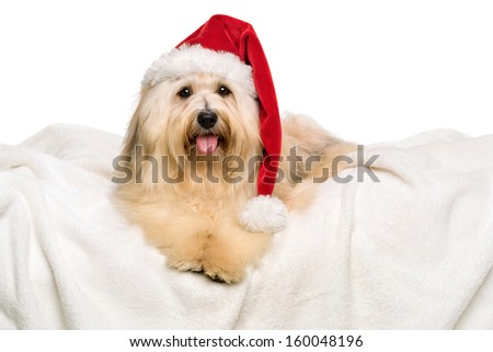 Cute reddish Bichon Havanese dog in a Christmas - Santa hat is lying on a white blanket. Isolated on a white background - stock photo