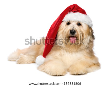 Cute reddish lying Bichon Havanese puppy dog in a Christmas - Santa hat. Isolated on a white background - stock photo
