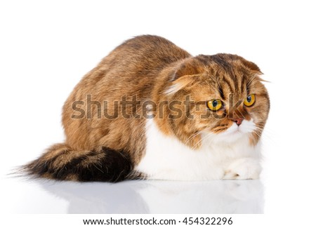 cute redhair Scottish Fold cat lying isolated on white background - stock photo