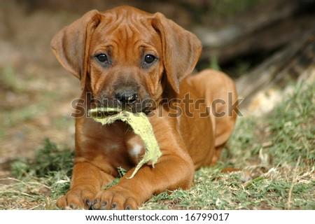 Cute Rhodesian Ridgeback hound dog puppy - stock photo