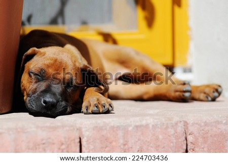 Cute Rhodesian Ridgeback puppy is sleeping in the sun. The little dog is five weeks of age. - stock photo