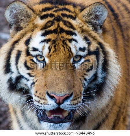 Cute roaring tiger cub closeup - stock photo