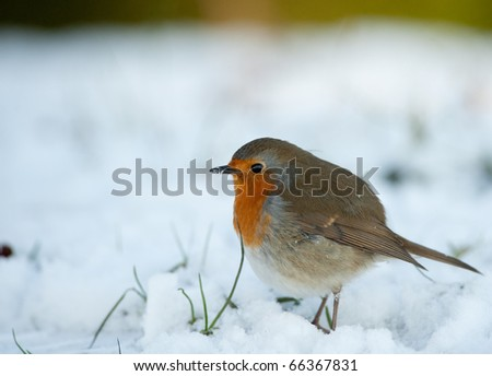 Cute robin on snow in winter - stock photo