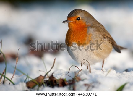 Cute robin on snow in winter (Erithacus rubecula) - stock photo