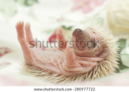 cute rodent african pygmy hedgehog baby - stock photo