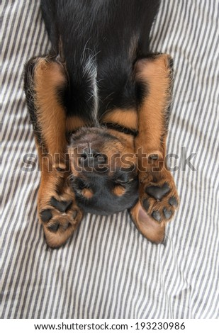 Cute Rottweiler Mix Puppy Sleeping on Its Back on Striped White and Gray Sheets on Human Bed - stock photo