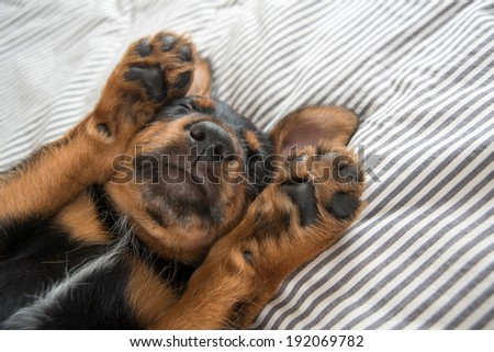 Cute Rottweiler Mix Puppy Sleeping on Striped White and Gray Sheets on Human Bed Looking at Camera - stock photo
