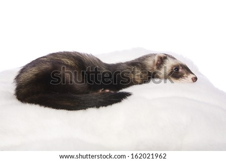 Cute sable ferret lying on white fur bed isolated on white background