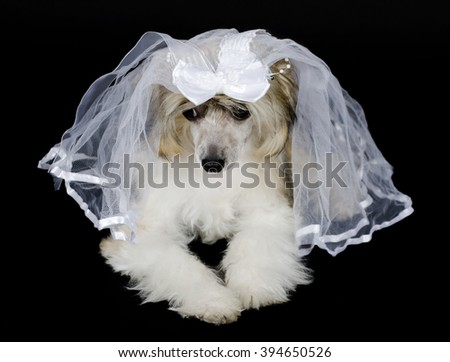 Cute sad Chinese Crested dog (Powderpuff variety) wearing a bridal veil, isolated on black - stock photo
