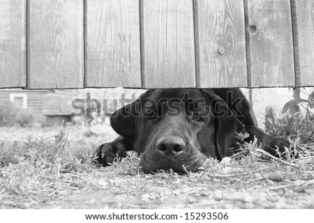 Cute sad dog under the fence (in B&W) - stock photo