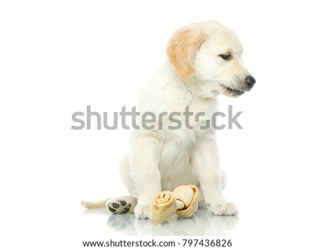cute sad puppy with bone isolated on white studio shot retriever