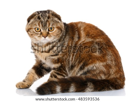 cute Scottish fold striped cat sitting on a white background, side view