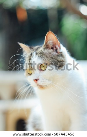 Cute scottish straight cat looking something. Animal portrait.