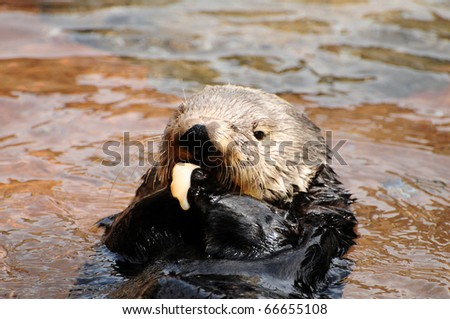 Cute sea otter eating clams holding with both paws - stock photo