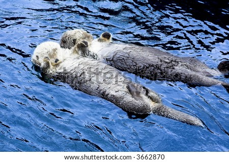 cute sea otter holding each other's hand - stock photo