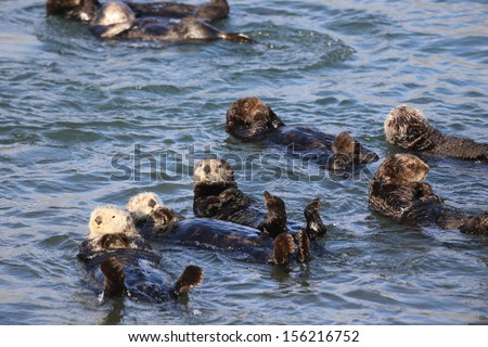 Cute Sea Otters swimming on back - stock photo