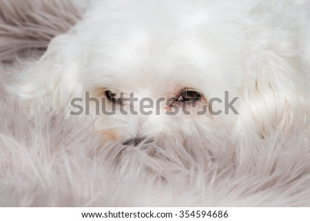 cute seet white dog portrait - stock photo