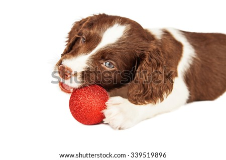 Cute seven week old English Springer Spaniel puppy laying chewing on Christmas decoration - stock photo