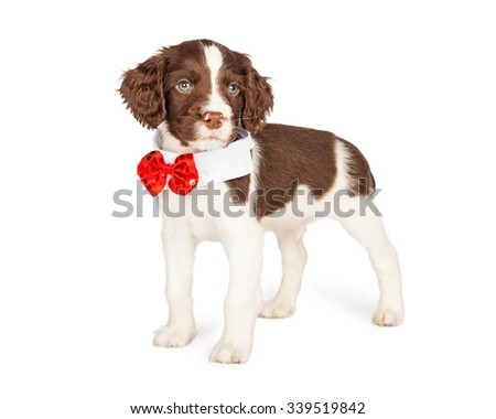 Cute seven week old English Springer Spaniel puppy wearing a formal red sequin bow tie - stock photo