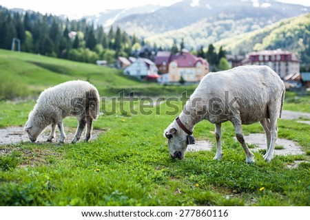 cute sheep graze the green grass on the lawn - stock photo