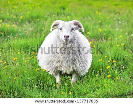 Cute sheep in Iceland staring into the camera - stock photo