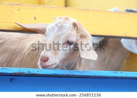 Cute sheep in the wooden fence of corral - stock photo