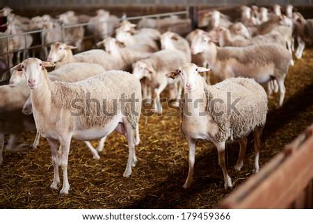 Cute sheep staring in a farm - stock photo