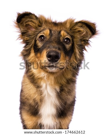 Cute shepherd mix puppy dog head shot with rings round eyes isolated on white  - stock photo