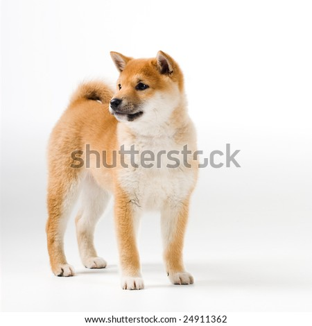 Cute Shiba Iny puppy on white background - stock photo