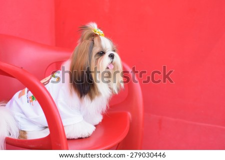 Cute shih tzu is sitting on the red chair and looking somwhere