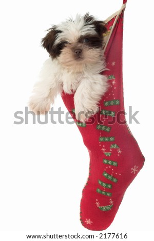 Cute Shih Tzu puppy dog, hanging in a Christmas stocking. - stock photo