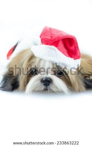 Cute shih tzu puppy in christmas theme? - stock photo