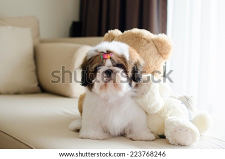 Cute shih tzu puppy is sitting and looking to us - stock photo
