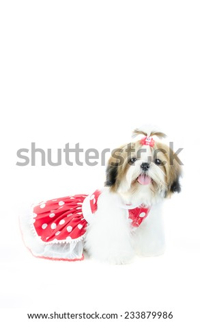 Cute shih tzu puppy is sitting on white background